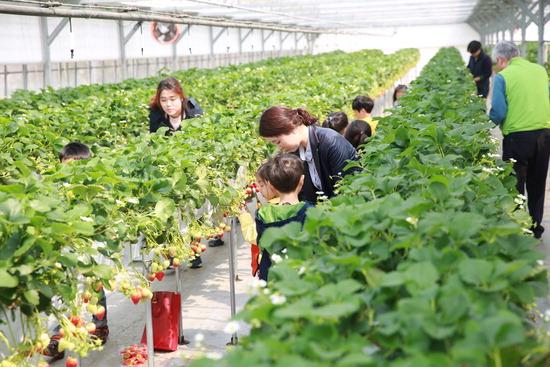 ▲ 광주시 딸기 수확 체험농장에서 어린이들이 직접 딸기를 따고 있다.  <광주시 농기센터 제공>