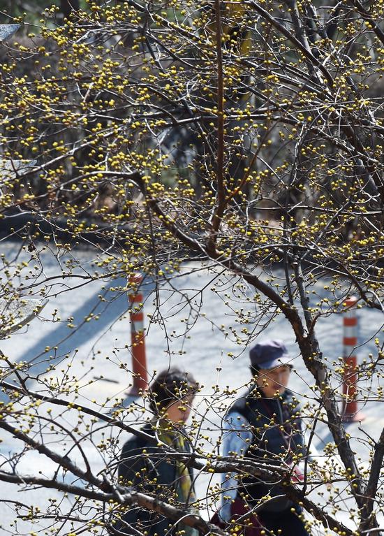 ▲ 완연한 봄 날씨를 보인 13일 오후 수원시 팔달산에 노란 산수유가 꽃망울을 터뜨리며 봄소식을 전하고 있다.홍승남 기자 nam1432@kihoilbo.co.kr