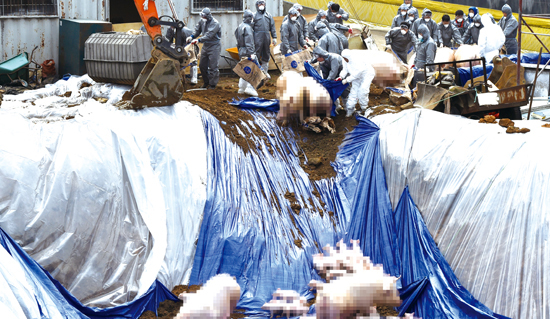 ▲ 27일 구제역 확정 판정을 받은 김포시의 한 돼지농가 인근 공터에서 돼지들이 살처분되고 있다. 농림축산식품부에 따르면 이 농가에서 발견된 구제역은 &lsquo;A형&rsquo;으로 국내에서 이 형질의 구제역이 발생한 것은 이번이 처음이다.  김포=홍승남 기자 nam1432@kihoilbo.co.kr<br /><br />
