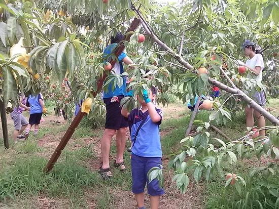 ▲ 부천시 춘덕산 복숭아 농가서 아이들이 수확 체험을 하고 있다.<부천시 제공>