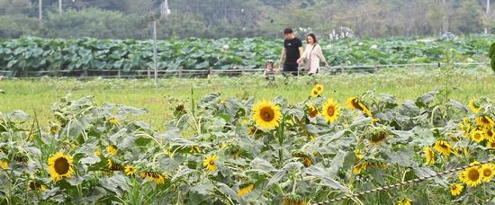 ▲ 아침저녁으로 선선한 날씨를 보인 26일 오후 수원시 당수동 시민농장을 찾은 시민들이 해바라기꽃밭에서 산책을 하고 있다.홍승남 기자 nam1432@kihoilbo.co.kr