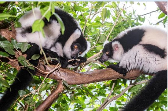 ▲ 흑백목도리 여우원숭이 알콩이&middot;달콩이. <에버랜드 제공>
