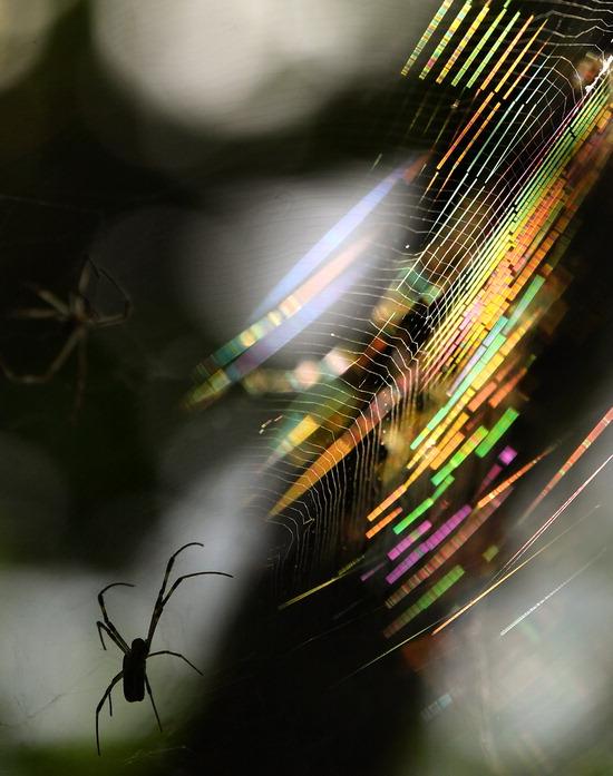 ▲ 아침 풀잎에 이슬이 맺힌다는 절기상 백로를 이틀 앞둔 6일 인천시 남동구 소래습지생태공원에서 밤과 낮의 큰 기온차로 수분을 머금은 거미줄이 일출 무렵 햇살에 반사돼 오색빛깔 찬란한 선율을 만들고 있다.  이진우 기자 ljw@kihoilbo.co.kr