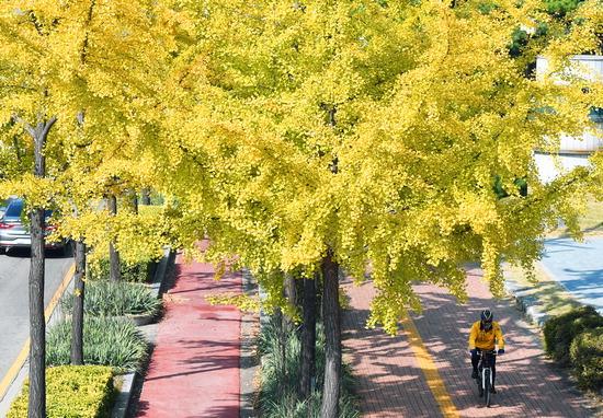 ▲ 17일 오후 수원시 팔달구 효원로의 노랗게 물든 은행나무 사이로 자전거를 탄 주민이 가을을 즐기고 있다. 홍승남 기자 nam1432@kihoilbo.co.kr