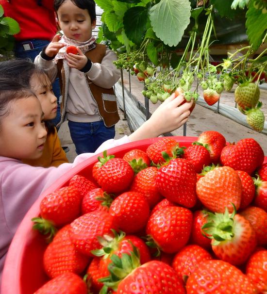 ▲ 딸기 수확 제철을 맞아 10일 인천시 계양구 현만농장에서 어린이들이 빨갛게 익은 딸기를 따며 즐거운 시간을 보내고 있다. 이진우 기자 ljw@kihoilbo.co.kr