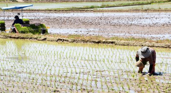 ▲ 농사일이 바빠지기 시작하는 절기 소만(小滿)을 맞은 21일 수원시 권선구 구운동 들녘에서 농민들이 이앙기로 모를 심고 있다.  홍승남 기자 nam1432@kihoilbo.co.kr