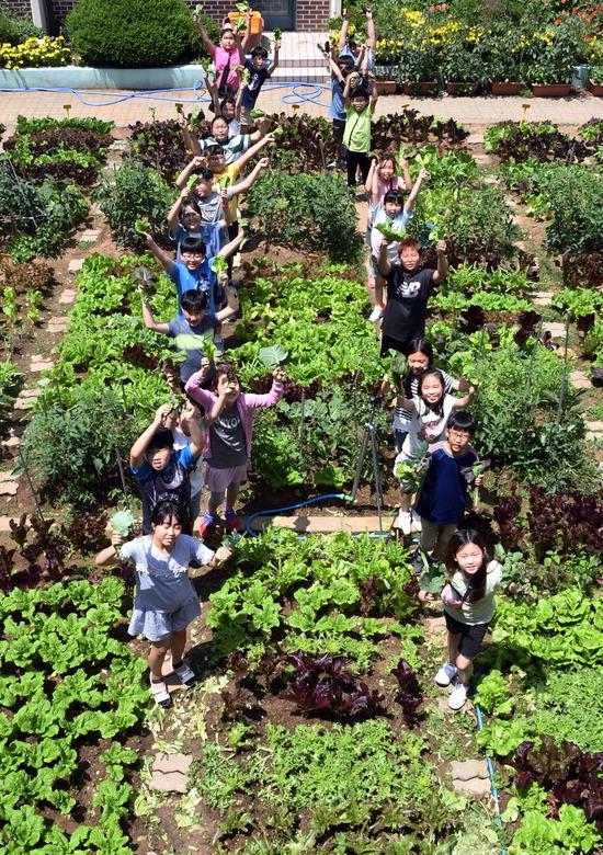 ▲ 수원시 장안구 송림초등학교가 이번 주를 에코그린데이 주간으로 정한 가운데 4학년 학생들이 5일 텃밭에서 자신이 키운 상추를 보이며 환하게 웃고 있다. 송림초는 학생들이 학교 텃밭에서 직접 키운 채소로 전교생 급식을 하고 있으며, 땀과 노동의 가치 체험을 통해 인성교육·생명존중교육에 이바지하고 있다.  홍승남 기자 nam1432@kihoilbo.co.kr