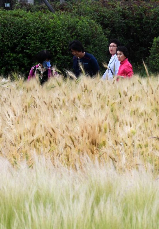 ▲ 10일 오후 수원시 팔달구 서호꽃뫼공원에서 시민들이 황금빛으로 물든 보리밭을 거닐고 있다.홍승남 기자 nam1432@kihoilbo.co.kr