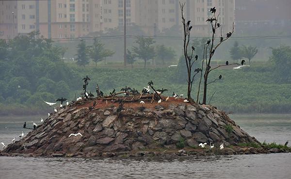 인천지역에 폭우가 쏟아진 지난해 10월 23일 인천 남동유수지 저어새섬에 가마우지와 저어새들이 비를 피해 무리를 지어있다.