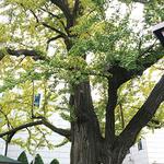 [큰 나무,큰 사람]19.남촌동 은행나무