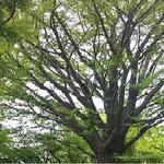 [큰 나무,큰 사람] 20.월미산 '평화의 나무' <完>