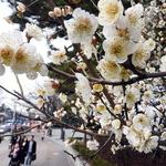 봄의 전령 매화꽃