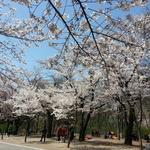 대공원 벚꽃인파 몰린 덕 인천철 2호선 '최대 수송'