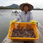 '친환경 양식' 강화 활왕새우 생산량 늘어 소비자 기쁨 2배