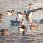 멸종위기 2급 생물 '큰기러기' 왕송호수에서 화려한 날갯짓