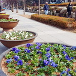 봄기운 물씬~ 부천시 도로 곳곳 꽃단장