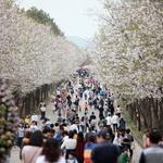 남한강변 벚꽃길 여주는 단장중