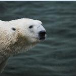 정든 북극곰 통키와 헤어지는 중입니다