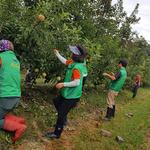 포천시 창수면 남녀 새마을회, 사과 잎 따기 봉사 실시