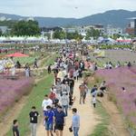 13만 관람객 보랏빛 물결 '천일홍 바다'에 푹 빠지다