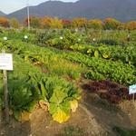 하남 시민 체험농장서 재배한 친환경 김장용 채소 기탁