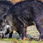 김해 밭에서 60대 멧돼지에 물려 , 돌발상황에 화들짝
