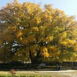 언제나 800살 장수동 은행나무… 박제 신세 전락한 巨木