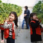 광주시농업기술센터,딸기 수확 체험 프로그램 운영