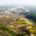 이천시,노란 봄꽃의 향연 이천 산수유축제 29일 개막