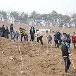 안성 남풍리 소나무재선충병 방제지역에  백합나무 3000주 식재