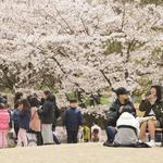 의왕시, '2019 의왕시청 벚꽃축제' 개최