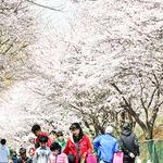 사뿐사뿐 분홍빛 길 걷고 꽃보다 아름다운 시민의식 활짝