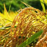 남양주시, 오는 22일부터 벼 농업재해보험 가입 홍보