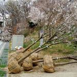 안양시, 동편마을 1단지와 3단지 1.6㎞ 둘레길 왕벚나무 150주 식재