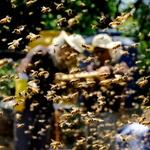 꿀벌들의 비행