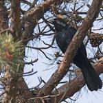 의왕 레솔레파크에서 검은뻐꾸기 수컷 1개체 관찰
