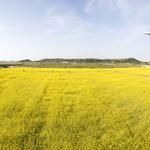 비행기 오가는 황금빛 꽃밭서 힐링