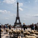 '파리 한복판 지나는 양 떼'…프랑스 '이동 목축' 진풍경