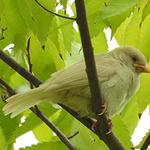 부천 자연생태박물관서  '길조' 흰 참새 발견 화제