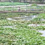 물 담뿍 품은 연꽃