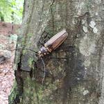 국립수목원, 광릉숲 발견 장수하늘소 다시 방사